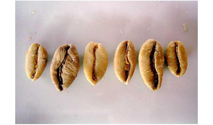 bentuk biji kopi liberika