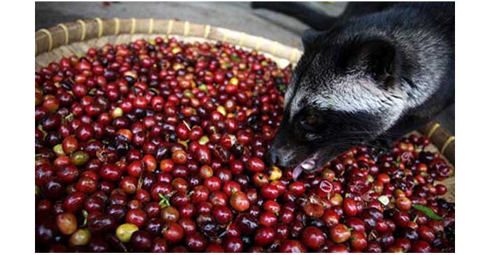 Civet-eating-coffee-beans-008