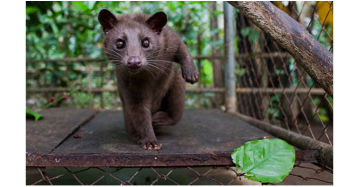 Indonesians-Farm-Civet-Ca-009