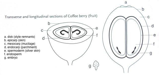 coffee anatomy