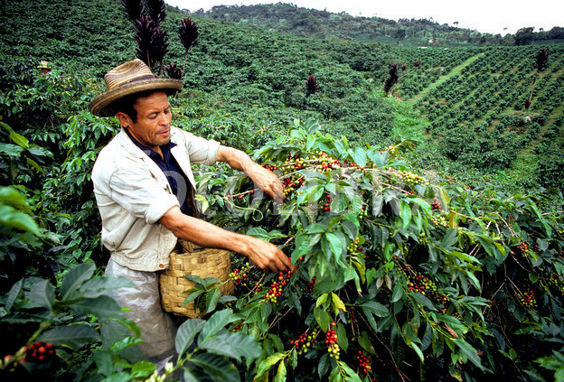 Colombia coffee picker exports