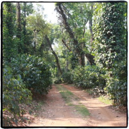 Intro To India Coffee Forests